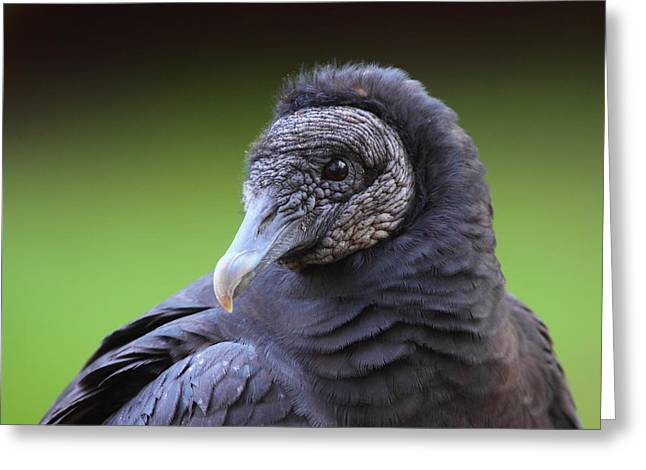 Vulture Greeting Cards - Black Vulture Portrait Greeting Card by Bruce J Robinson