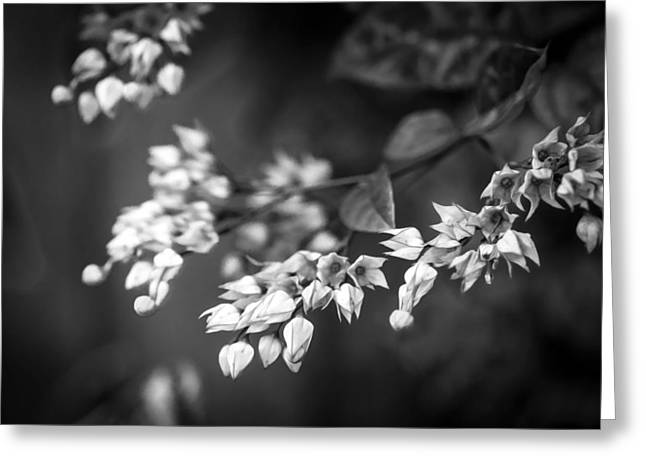 Dicentra Spectabilis Greeting Cards - Bleeding Heart Flowers Clerodendrum Painted BW   Greeting Card by Rich Franco