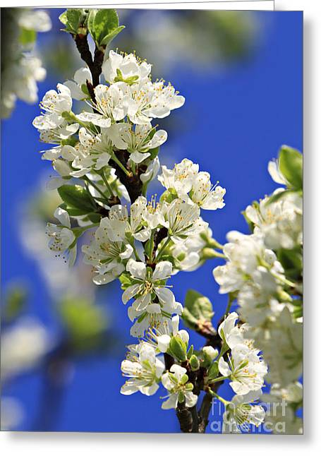 Flower Blossom Greeting Cards - Blooming Apple Tree Greeting Card by Dan Radi