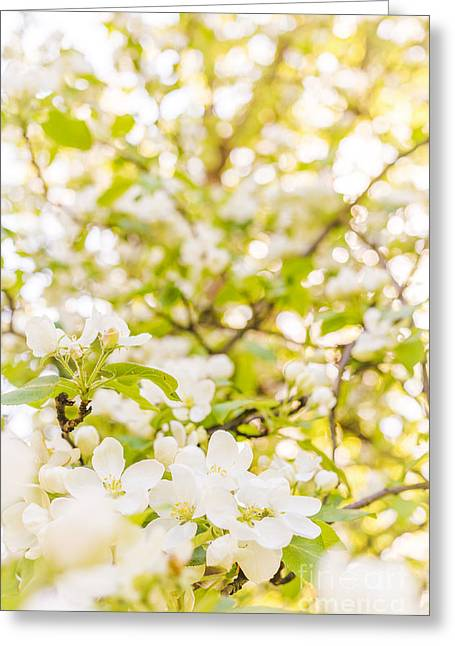 Apricot Greeting Cards - Blossoming White Flowers Greeting Card by Aleksey Tugolukov