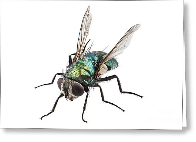 Diptera Greeting Cards - blow fly species Lucilia caesar Greeting Card by Pablo Romero