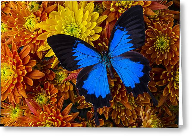 Antenna Greeting Cards - Blue butterfly on mums Greeting Card by Garry Gay