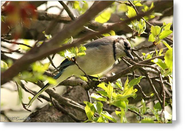 Jaybird Greeting Cards - Blue Jay Greeting Card by J McCombie