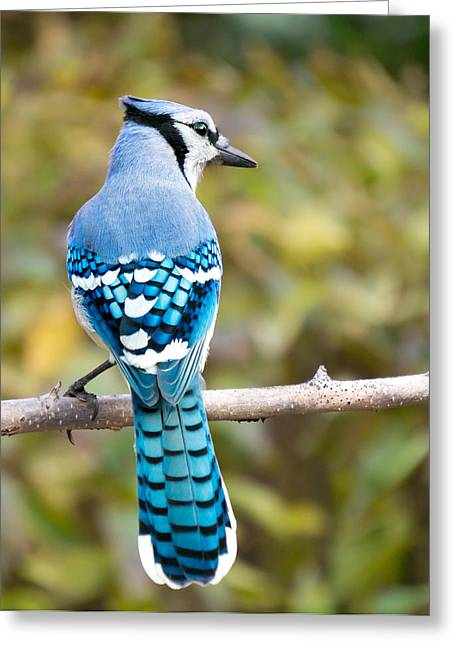 Blue Jay Greeting Card by Jim Hughes