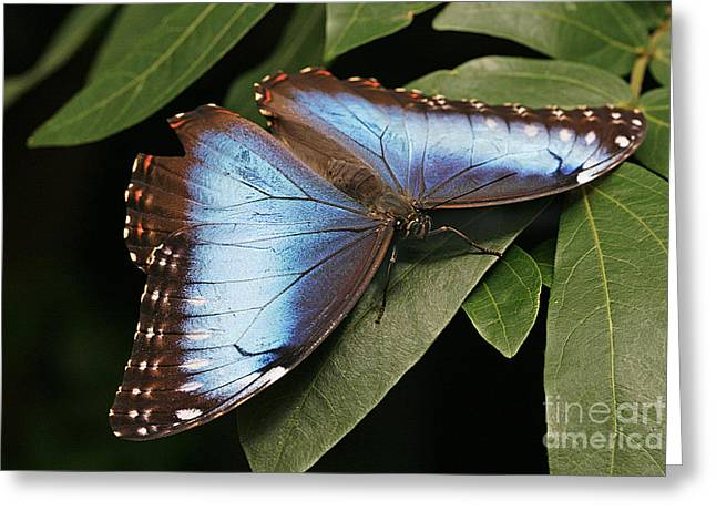 Cindi Ressler Greeting Cards - Blue Morpho Butterfly Greeting Card by Cindi Ressler