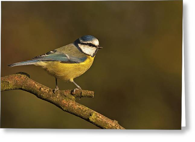 Scoullar Greeting Cards - Blue Tit  Greeting Card by Paul Scoullar