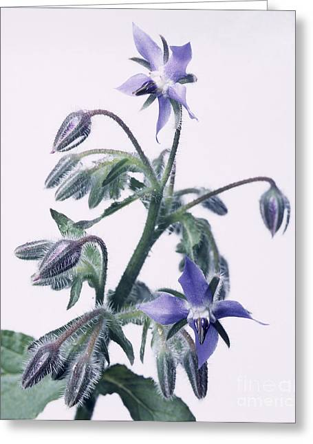 Anti Greeting Cards - Borage Flowers Greeting Card by Sheila Terry