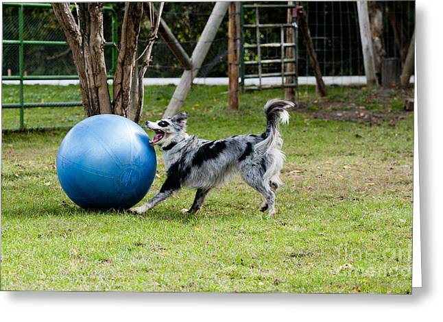 Dog Playing Ball Greeting Cards - Border Collie Chasing Ball Greeting Card by William H. Mullins