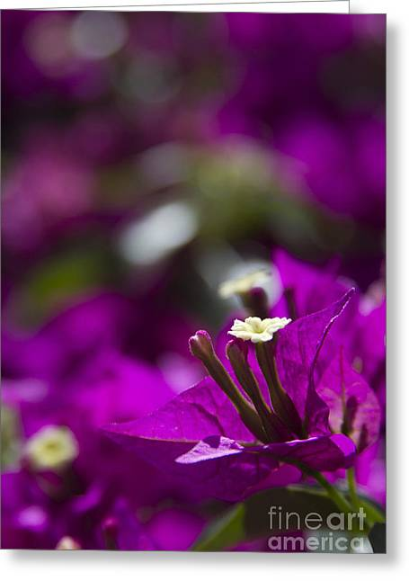 Ovates Greeting Cards - Bougainvillea spectabilis Greeting Card by Sharon Mau