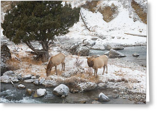 Recently Sold -  - Grazing Snow Greeting Cards - Breakfast Greeting Card by Birches Photography