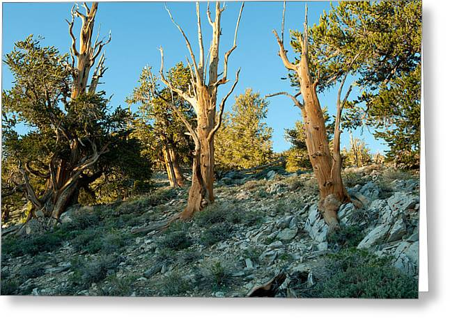 White Pine County Greeting Cards - Bristlecone Pine Grove At Ancient Greeting Card by Panoramic Images