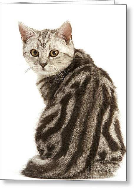House Pet Greeting Cards - British Shorthair Cat Greeting Card by Jean-Michel Labat