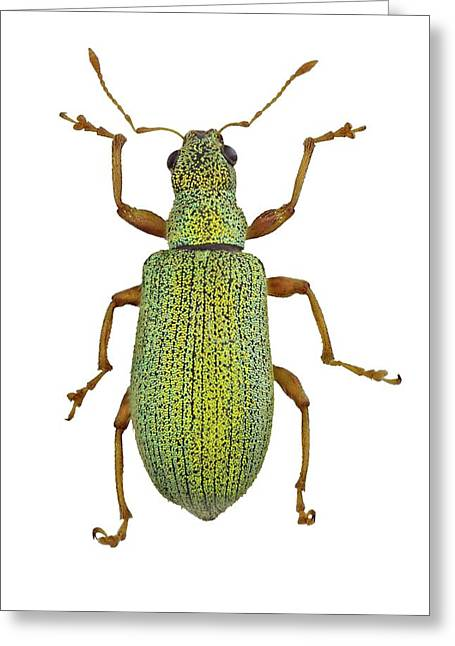 Broad-nosed Weevil Greeting Card by F. Martinez Clavel