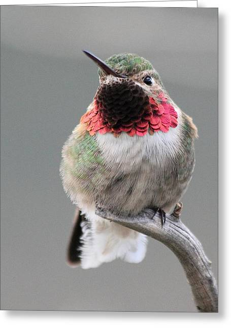 Shane Bechler Greeting Cards - Broad-Tailed Hummingbird Greeting Card by Shane Bechler