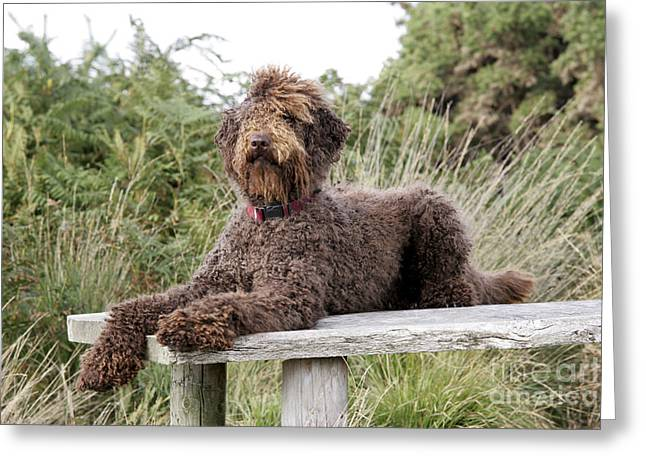 Labradoodle Greeting Cards - Brown Labradoodle Greeting Card by John Daniels