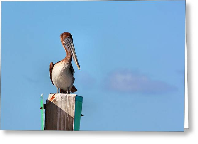 Brown Pelican-3 Greeting Card by Rudy Umans