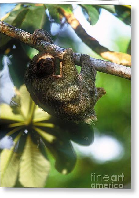 Three-toed Sloth Greeting Cards - Brown-throated Three-toed Sloth Greeting Card by Art Wolfe