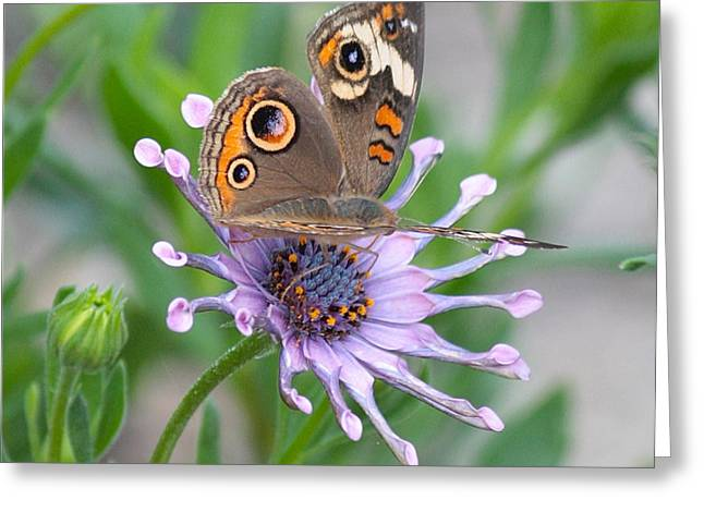 Butterfly On Flower Greeting Cards - Buckeye Butterfly Square Greeting Card by Carol Groenen