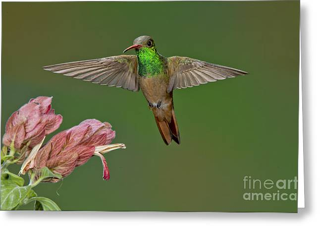Hovering Greeting Cards - Buff-bellied Hummingbird Greeting Card by Anthony Mercieca