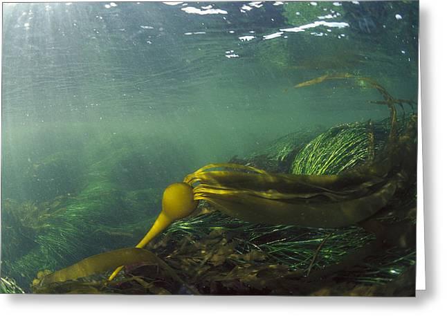 Underwater Photos Greeting Cards - Bull Kelp Underwater Clayoquot Sound Greeting Card by Flip Nicklin