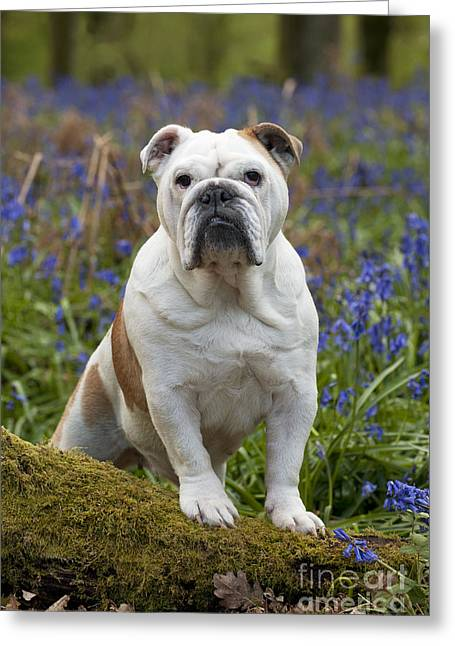 Grumpy Face Greeting Cards - Bulldog In Bluebells Greeting Card by John Daniels