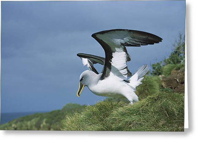 Bullers Albatross With Colorful Bill Greeting Card by Tui De Roy