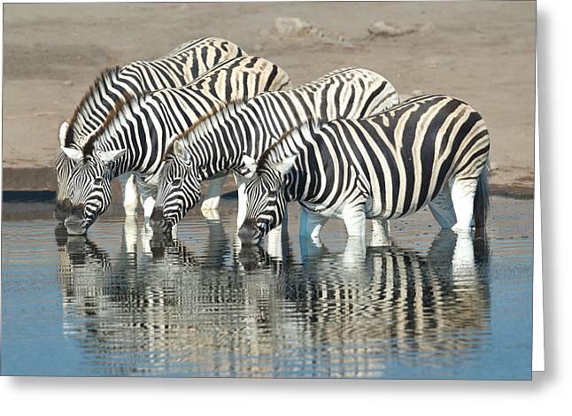 Burchells Zebras Equus Quagga Greeting Card by Panoramic Images