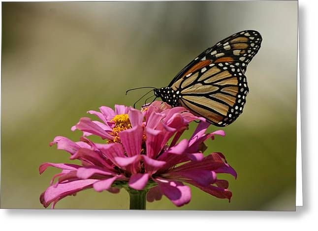 Indiana Flowers Greeting Cards - Butterfly on Zinnia Greeting Card by Sandy Keeton