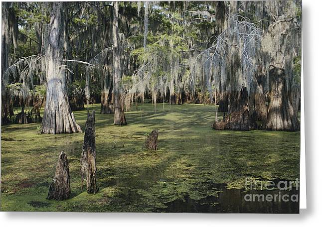 Sloughs Greeting Cards - Caddo Lake, Texas Greeting Card by Gregory G. Dimijian, M.D.