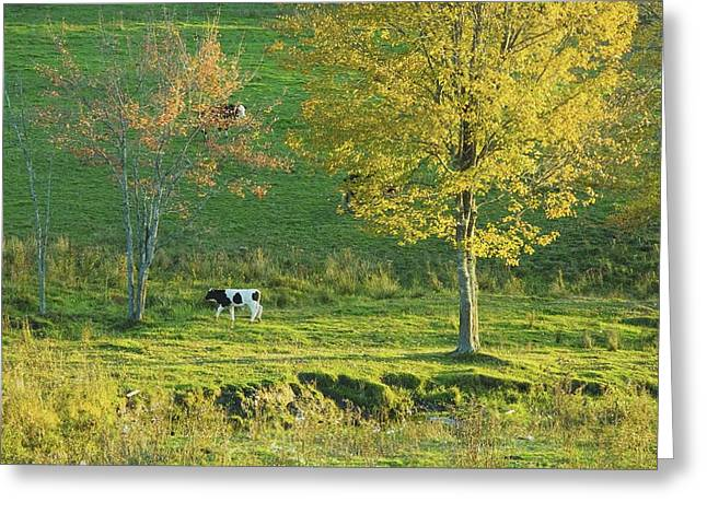 Guernsey Greeting Cards - Calf On A Farm fall Maine Greeting Card by Keith Webber Jr