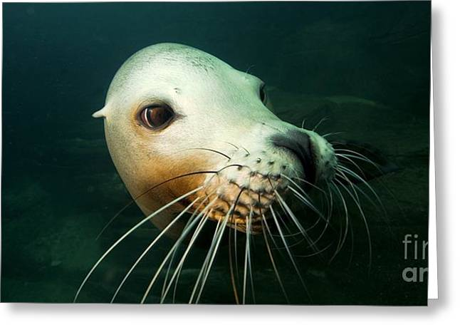 California Sea Lions Greeting Cards - California Sea Lion Greeting Card by  Alexis Rosenfeld