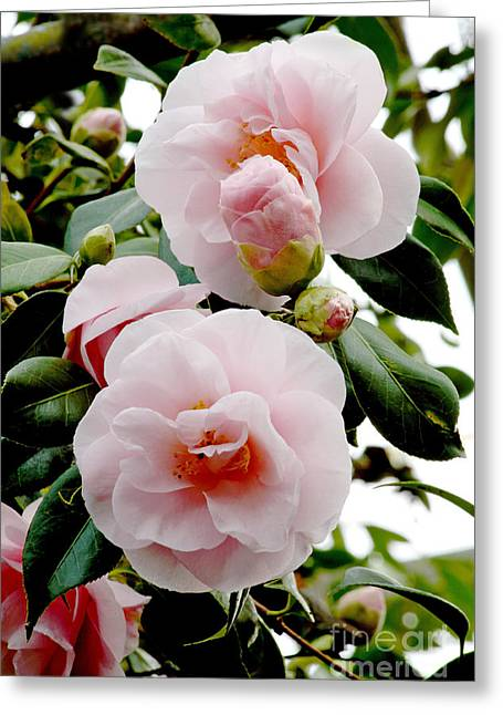 Dainty Greeting Cards - Camellia Flowers Camellia Japonica Greeting Card by Dr. Keith Wheeler
