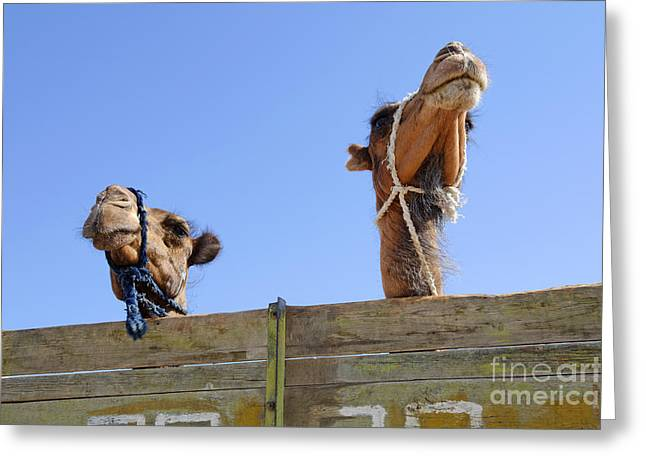 Camels At The Ashgabat Sunday Market In Turkmenistan Greeting Card by Robert Preston