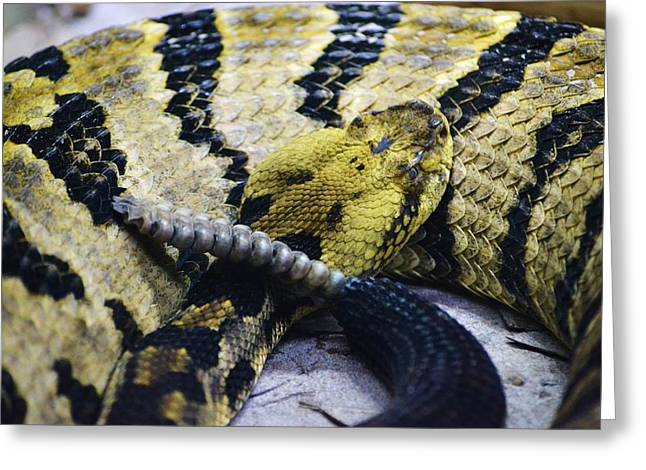Canebrake Greeting Cards - Canebrake Rattlesnake Greeting Card by Bryan Kelley