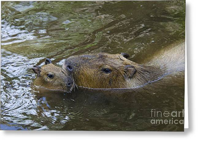 Mother And Young Greeting Cards - Capybara Mother & Baby Greeting Card by Mark Newman