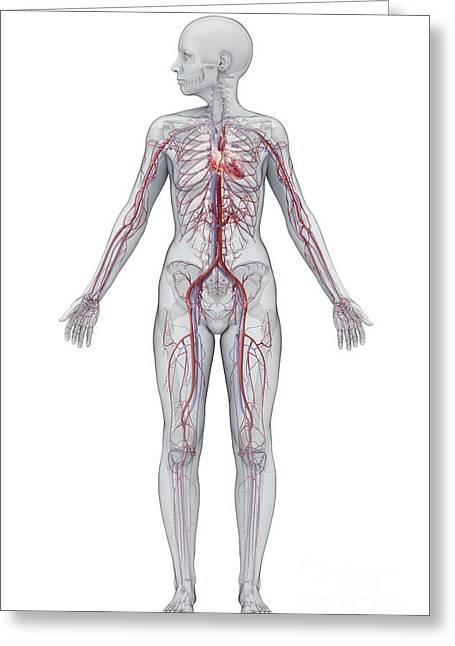 Cava Greeting Cards - Cardiovascular System Female Greeting Card by Science Picture Co