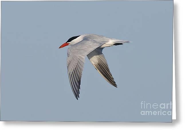 Tern Greeting Cards - Caspian Tern Greeting Card by Anthony Mercieca