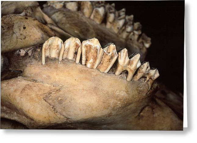 Eutheria Greeting Cards - Cattle jawbone Greeting Card by Science Photo Library