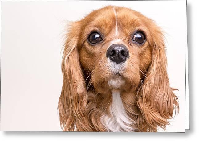 King Charles Spaniel Greeting Cards - Cavalier King Charles Spaniel Puppy Greeting Card by Edward Fielding
