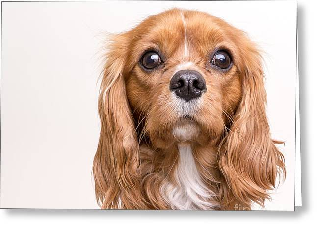 Dog Photographs Greeting Cards - Cavalier King Charles Spaniel Puppy Greeting Card by Edward Fielding