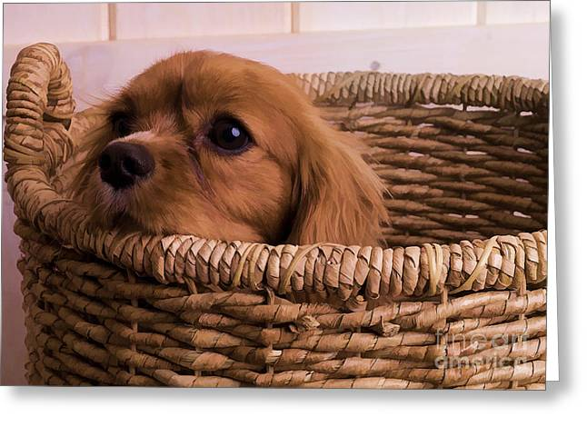 Play Digital Greeting Cards - Cavalier King Charles Spaniel Puppy in basket Greeting Card by Edward Fielding