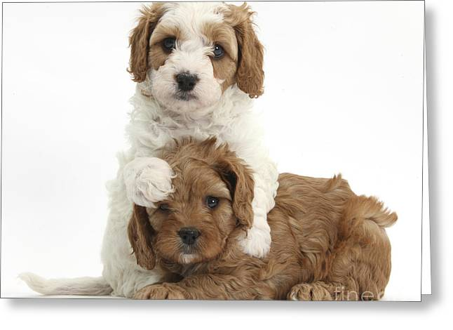 House Pet Greeting Cards - Cavapoo Puppies Hugging Greeting Card by Mark Taylor
