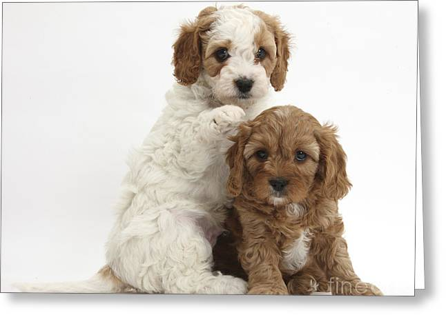 House Pet Greeting Cards - Cavapoo Puppies Greeting Card by Mark Taylor