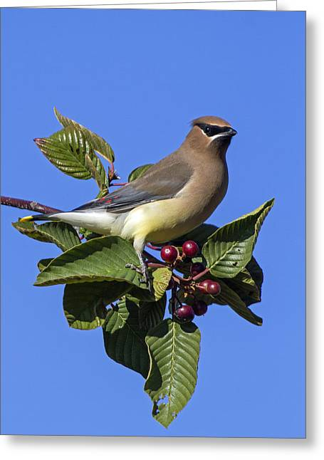 Tree Limbs Greeting Cards - Cedar Waxwing Greeting Card by Angie Vogel