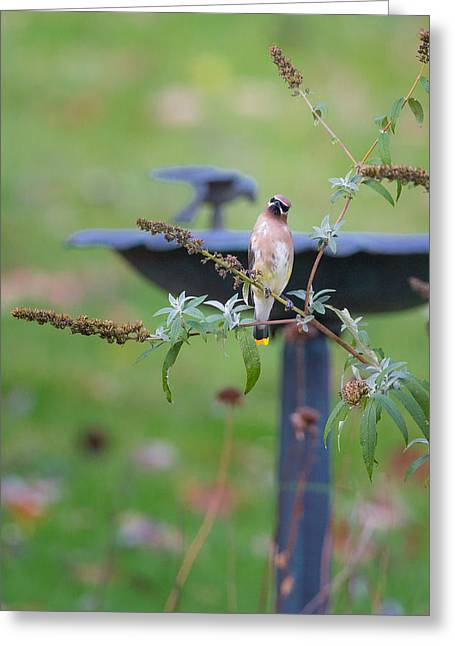 Cedar Waxwing Greeting Cards - Cedar Waxwing Greeting Card by Bill  Wakeley