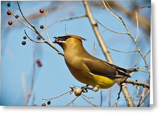 Cedar Waxwings Greeting Cards - Cedar Waxwing With Berry Greeting Card by Robert Frederick