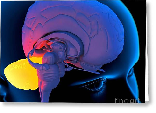 Sensory Perception Greeting Cards - Cerebellum In The Brain, Artwork Greeting Card by Roger Harris