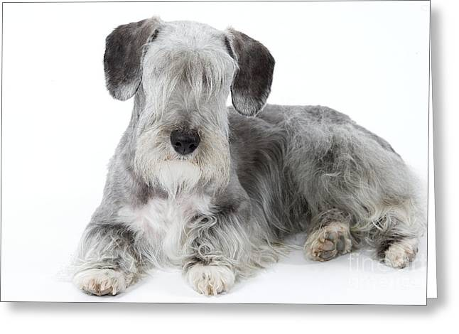 Eyebrow Greeting Cards - Cesky Terrier Greeting Card by Jean-Michel Labat