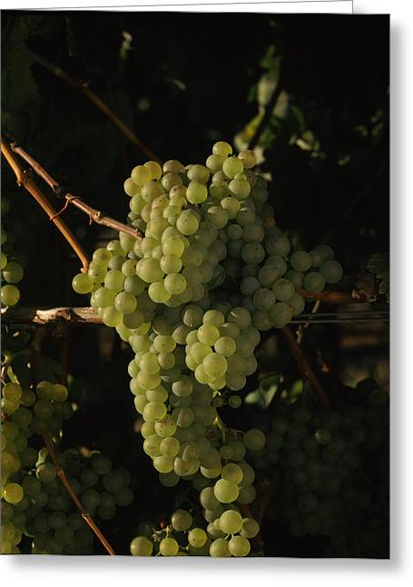Grape Vineyard Greeting Cards - Chardonnay Grapes In Vineyard, Carneros Greeting Card by Panoramic Images