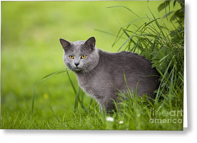 Gray Hair Greeting Cards - Chartreux Cat Greeting Card by Jean-Michel Labat